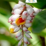Fleur d'Atoumo