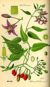 290px-Illustration_Solanum_dulcamara0